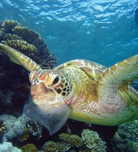 More endangered sea turtles ingesting plastic - Plastics News   Animal conservation   Scoop.it