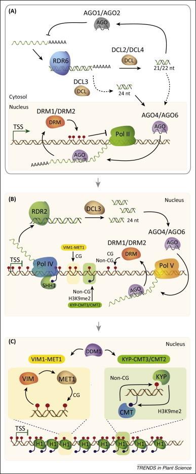 DNA methylation as a system of plant genomic immunity | Plant pathogen | Scoop.it