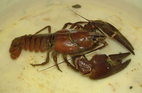 Crayfish season starts – what do you need to remember? - Finnish Food Safety Authority Evira | Food Policy News | Scoop.it