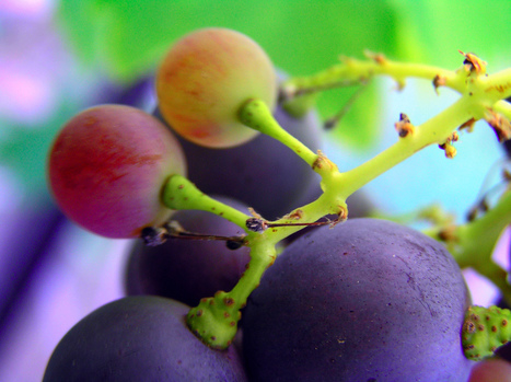 Beneficial action of resveratrol: How and why? | Biotivia Longevity | Scoop.it