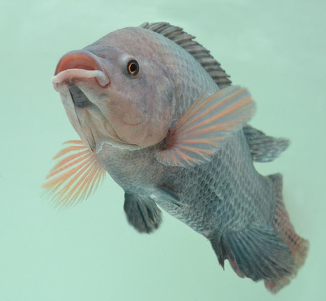 The Aquaculturists: 02/07/2015: Global production of tilapia is increasing –and Aller Aqua is playing a leading role | Global Aquaculture News & Events | Scoop.it
