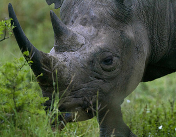 Rhino poaching: More rhinos are dying than are being born - Toronto Star | What's Happening to Africa's Rhino? | Scoop.it