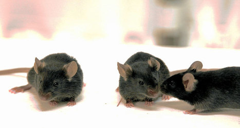 Mice share each other's pain through the sense of smell | Amazing Science | Scoop.it