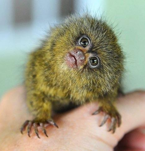 Video: Super Cute Pugmy Marmoset Gets Full Body Massage | Strange Animals | Strange animals | Scoop.it