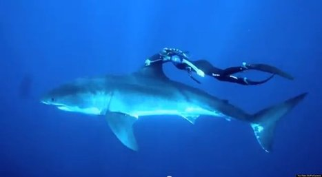 WATCH: Woman Swims With Great White Shark | Xposed | Scoop.it