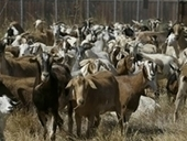 $10,000 Worth of Goats Stolen from Hawaii Farm | Annie Haven | Haven Brand | Scoop.it