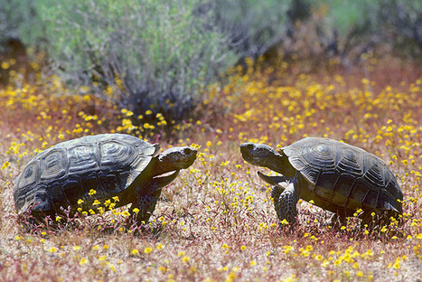 Marines to 1,100 Endangered Desert Tortoises: Move Out | Conservation | Scoop.it