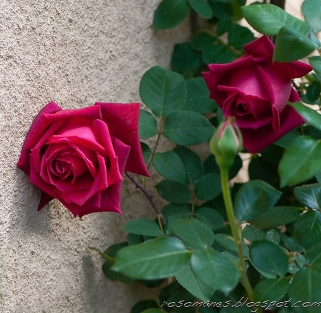 A Rose is a Rose... | All Things Rose | Scoop.it