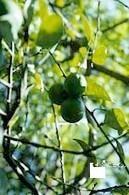 ::: BIBLIOTECA DIGITAL DE LA MEDICINA TRADICIONAL MEXICANA :::   Limón ( Citrus x Limon )   Scoop.it