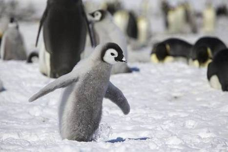 Why Don't Penguin Feathers Freeze? | Biomimicry | Scoop.it