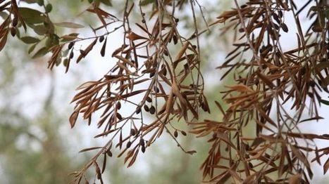 Tests find trees tolerant to olive tree killer pathogen - BBC News | FTN press review | Scoop.it