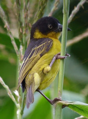 Safari Ecology: Common Birds: the case of the Baglafecht Weaver and missing forests | Environmental progress | Scoop.it