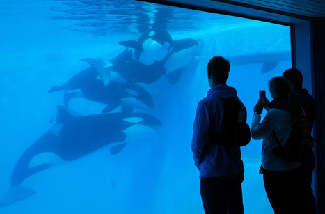 Seaworld Loses Appeal of U.S. Ban on Killer Whale Contact - Bloomberg | Animals in Captivity | Scoop.it