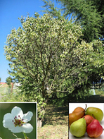 Usos Medicinales de la Pera | PERA (PYRUS COMMUNIS) | Scoop.it
