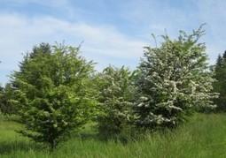Hawthorn | Wildfoodsandmedicines | Real Food and Health | Scoop.it
