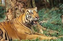 Wildlife Extra News - Tiger range states to improve cross border conservation   Tiger Conservation   Scoop.it