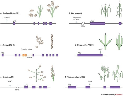 Evolution of crop species: genetics of domestication and diversification : Nature Reviews Genetics : Nature Publishing Group | Rice origins and cultural history | Scoop.it