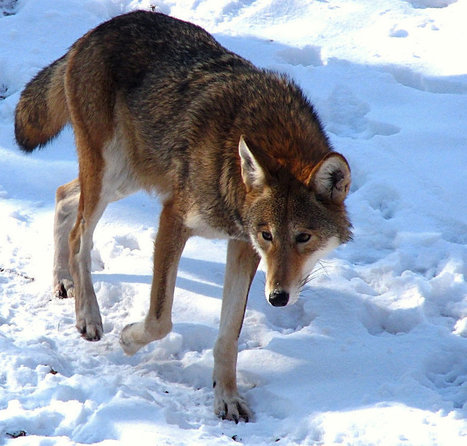 Save Red Wolves from Extinction | GarryRogers NatCon News | Scoop.it