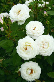 Stop and Smell the … Our List of the Most Fragrant Roses | Annie Haven | Haven Brand | Scoop.it