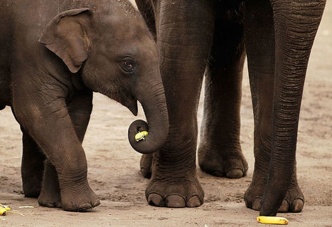 Mosha: The First Elephant With A Prosthetic Leg | Pachyderm Magazine | Scoop.it