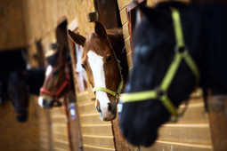 Risks of Purchasing a Horse From a Sales Agent | Equine Law | Scoop.it