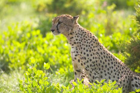 Ending the Illegal Pet Trade in Cheetahs | Kruger & African Wildlife | Scoop.it