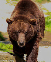 Transylvanian Wildlife Project: Brown Bear (Ursus Arctos) | Conservation Biology, Genetics and Ecology | Scoop.it