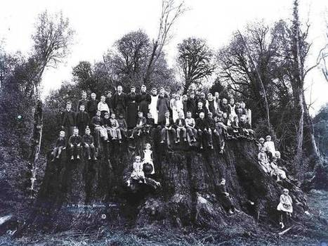 Reborn – the giant tree felled as a result of a bar-room wager | Our Evolving Earth | Scoop.it