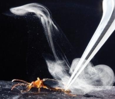 Comment les carabes bombardiers émettent-ils leur spray vénéneux ? | Biodiversité | Scoop.it