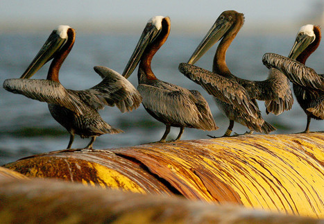 BP Drops $1 Billion Seafood Industry Spill Payments Fight | GarryRogers Biosphere News | Scoop.it