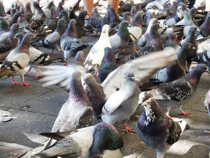 Científicos mexicanos evalúan el riesgo de enfermedad pulmonar por contacto con aves   Comunicaciencia   Scoop.it