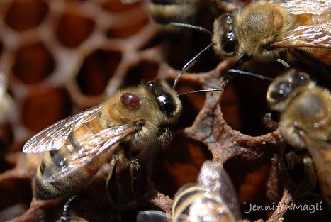 Basf et Nod Apiary Products annoncent une avancée majeure contre le varroa | Abeilles, intoxications et informations | Scoop.it