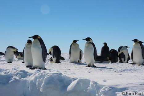 Genetics reveals where emperor penguins survived the last ice age | enjoy yourself | Scoop.it