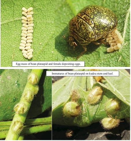 Kudzu bugs continue to spread | Soybeans | Content from Southeast Farm Press | Research from the NC Agricultural Research Service | Scoop.it