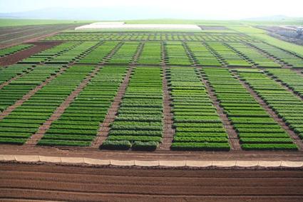 Israeli Ag Biotech Firm Developing Non-GM Yield Enhanced Varieties | Organic farming | Scoop.it