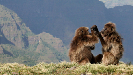 Gelada monkeys offer evidence that abortion is part of evolutionary fitness | Modern Atheism | Scoop.it