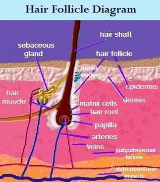 Understanding the Scalp | Instrumental cosmetics | Scoop.it