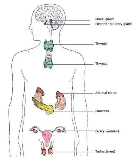 Endocrine System Organs, Glands | Hormones and Metabolism | Exercise Physiology Homepage | Scoop.it