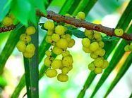 Phyllanthus emblica - The New Healing Super-fruit | Arun Thai Natural Health | Scoop.it