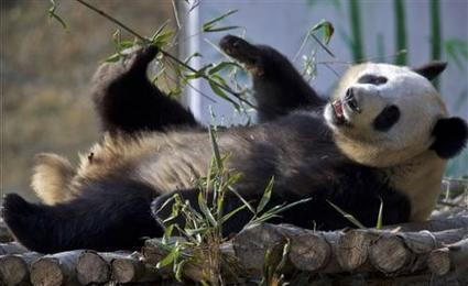 China's latest survey finds increase in wild giant pandas   GarryRogers Biosphere News   Scoop.it