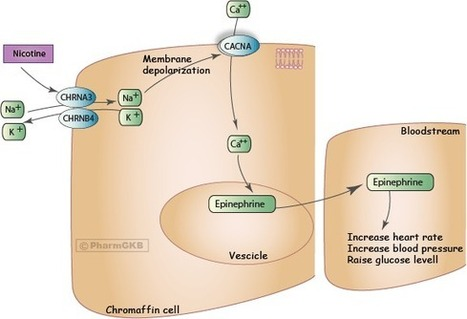 Nicotine Pathway (Chromaffin Cell), Pharmacodynamics | New Group 10 | Scoop.it