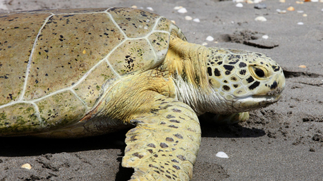 Why are rare sea turtles coming ashore in B.C.? | CTV News | Global Issues | Scoop.it