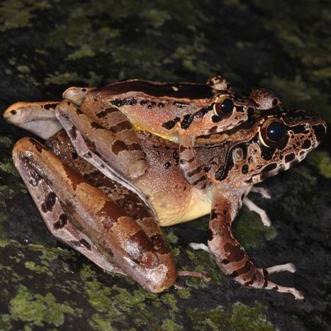 Frogs use ultrasonic calls to find mates near noisy streams | De Natura Rerum | Scoop.it