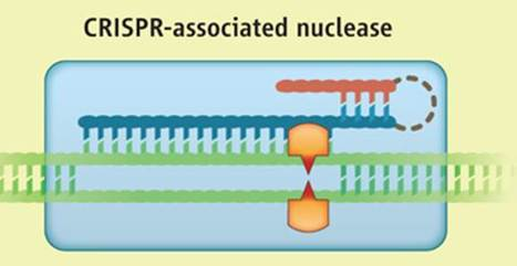 Forbes: CRISPR-associated nuclease could change biotech forever | Multi- gene | Scoop.it