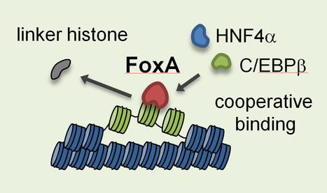 Penn Study Brings New Understanding to How Fundamental DNA Sequences Govern Gene Activity   Genetics - GEG Tech top picks   Scoop.it