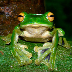 Huge new flying frog discovered in Vietnam | Science is Cool! | Scoop.it
