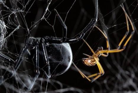 Un repas ou un mâle ? Les vibrations légères de la veuve noire mâle ne déclenchent pas le réflexe de prédation chez la femelle | EntomoNews | Scoop.it