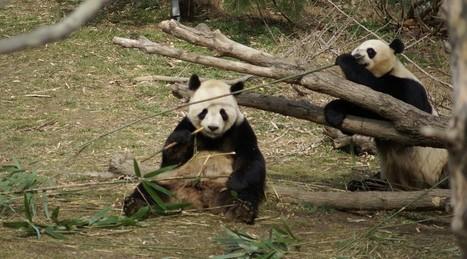 Zoo: La Belgique accueille deux pandas géants venus de Chine | Zoos Fermes Parcs | Scoop.it