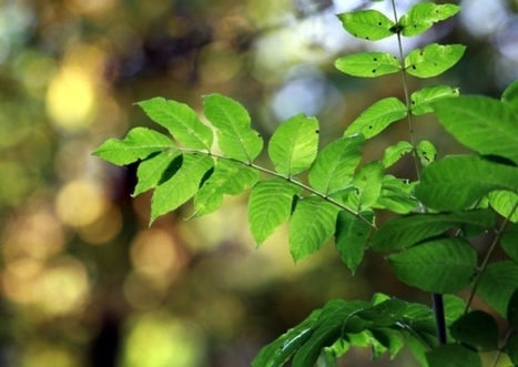 Ash dieback disease: a deep-rooted problem - Scotsman (blog) | Plant Pests - Global Travellers | Scoop.it