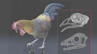 Birds may be dinosaurs that never grow up | Amazing Science | Scoop.it